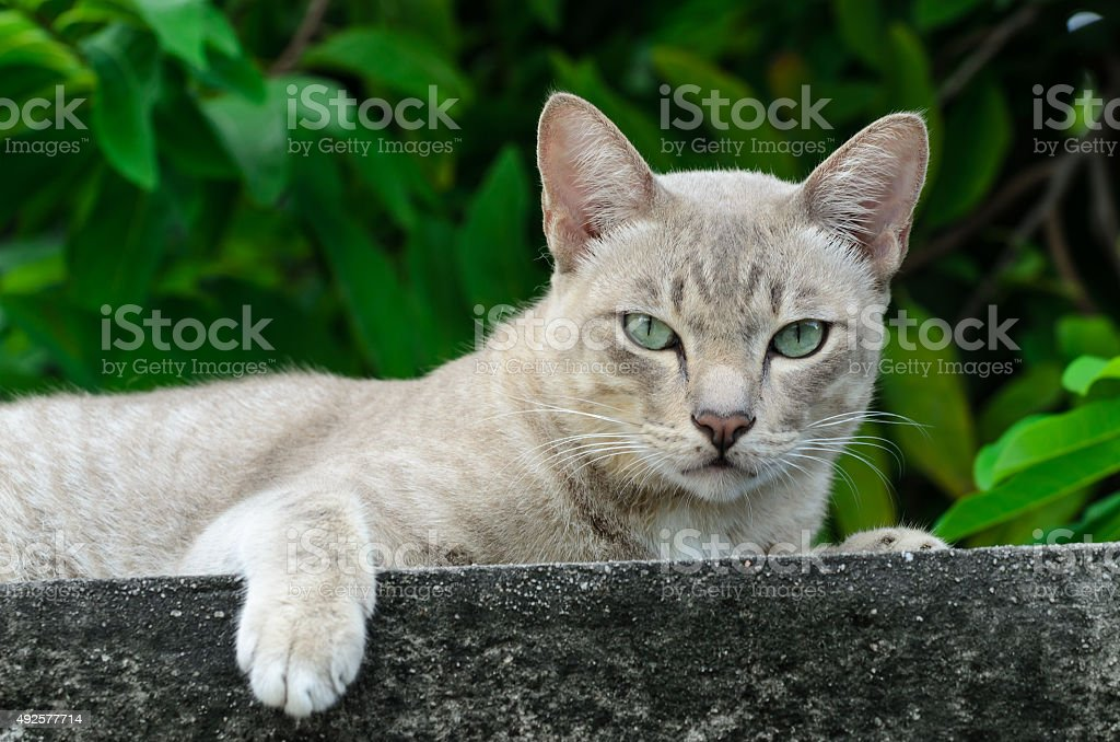 Thai cat is watching into camera. stock photo