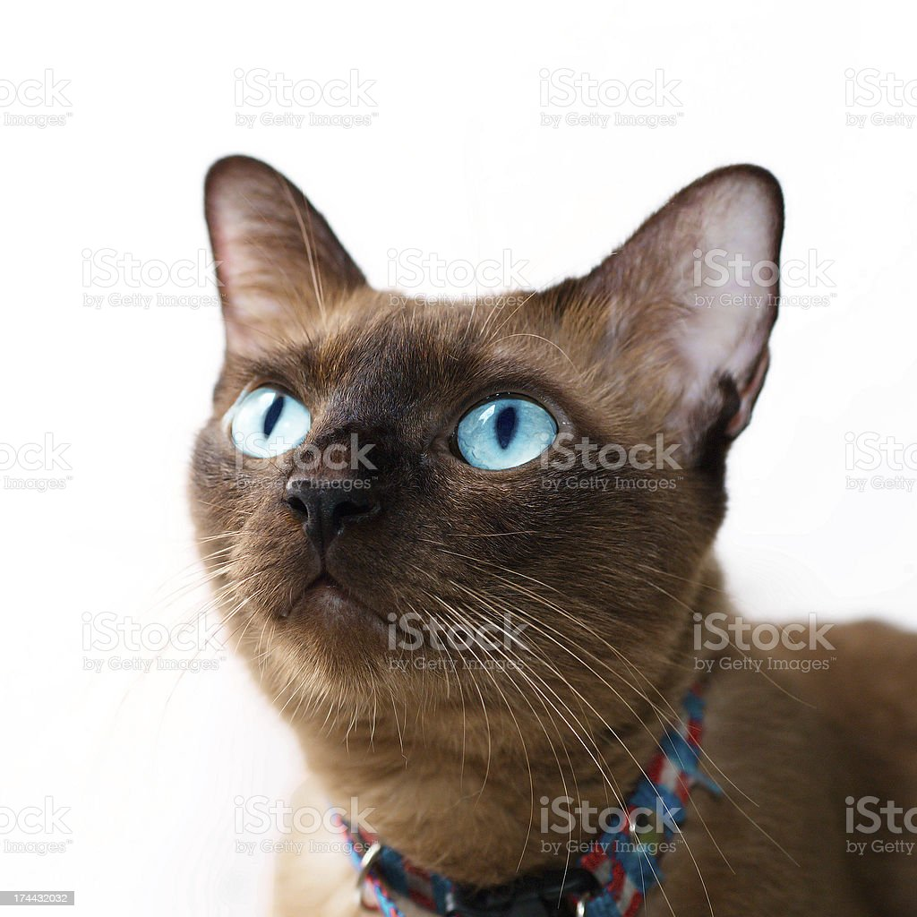 Thai Cat royalty-free stock photo
