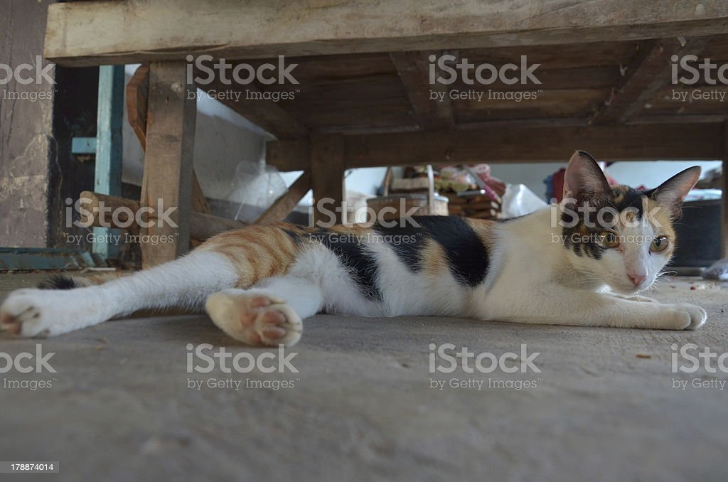 Thai Cat royalty-free stock photo