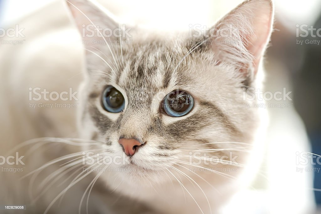 Thai   cat   portrait close-up royalty-free stock photo