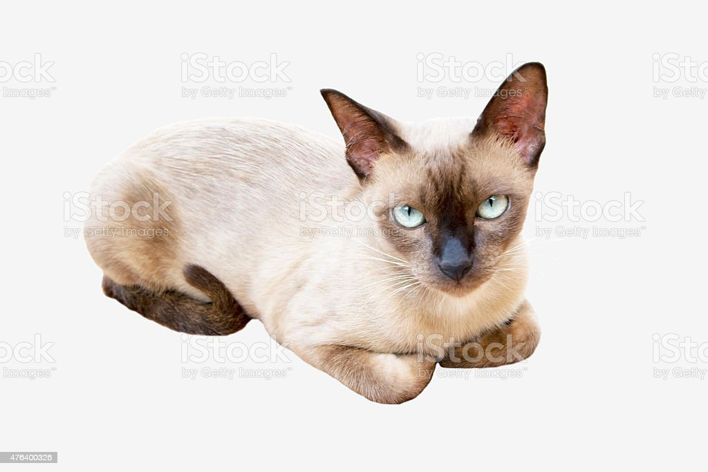Thai cat. Siamese cat on white background royalty-free stock photo