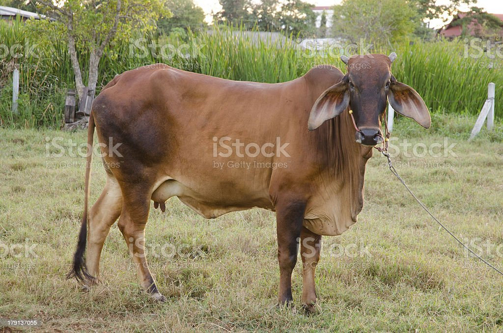 Thai Cow royalty-free stock photo
