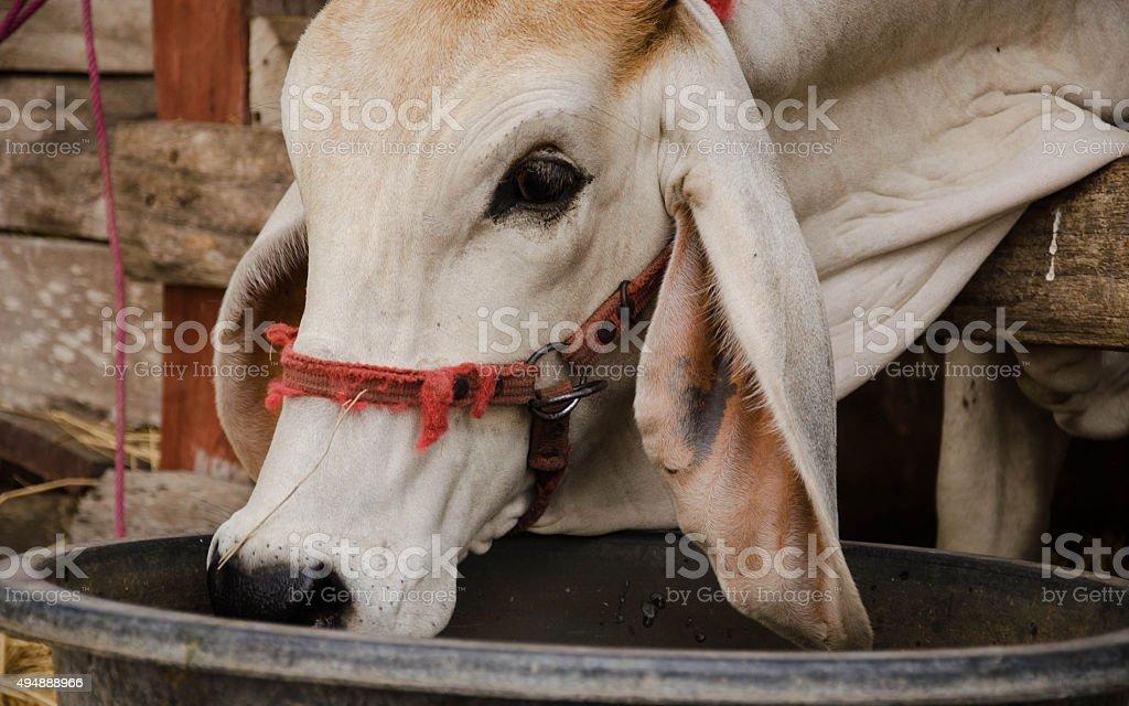 Thai de vaca foto de stock libre de derechos