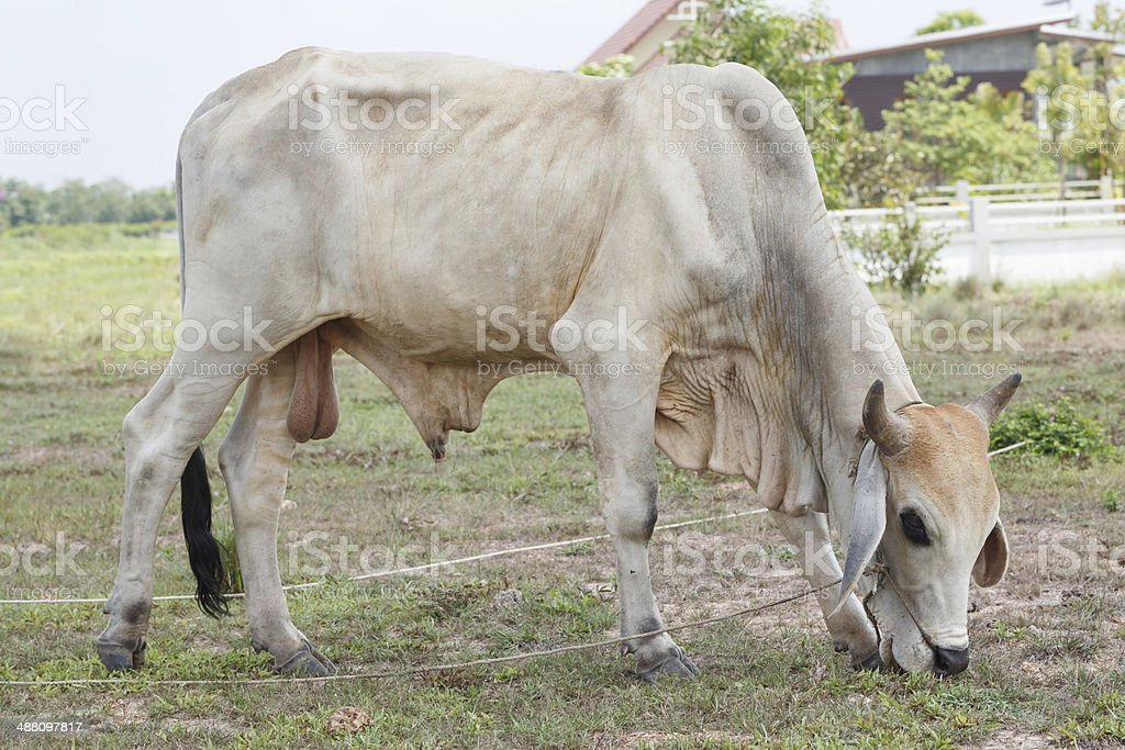 Thai cows in field at thailand stock photo