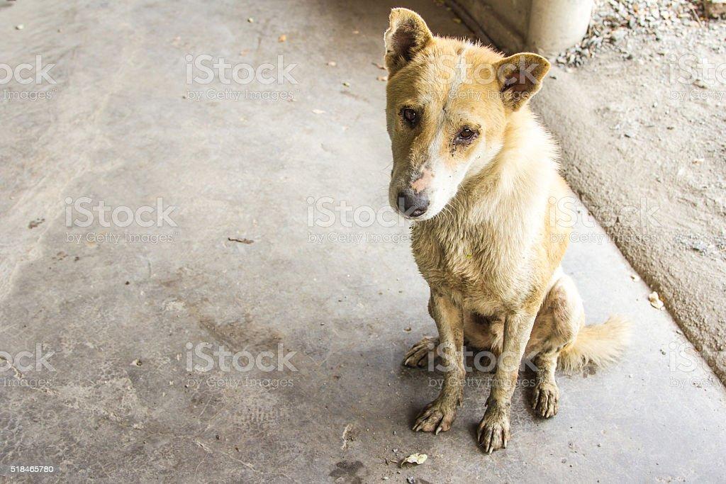Thai dirty dog. stock photo