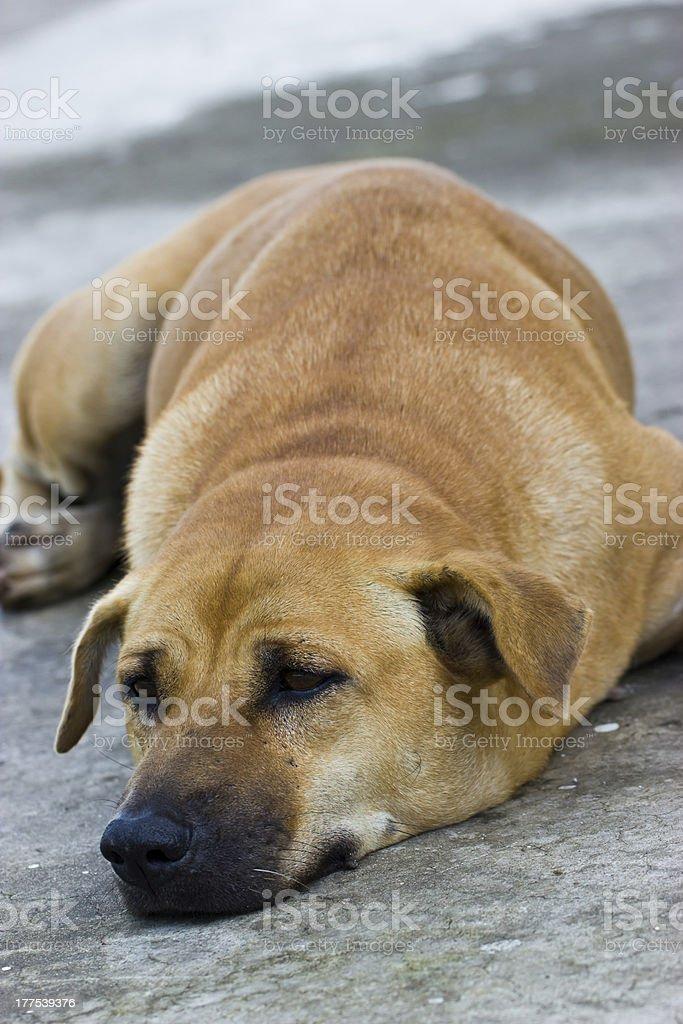 Thai dog royalty-free stock photo