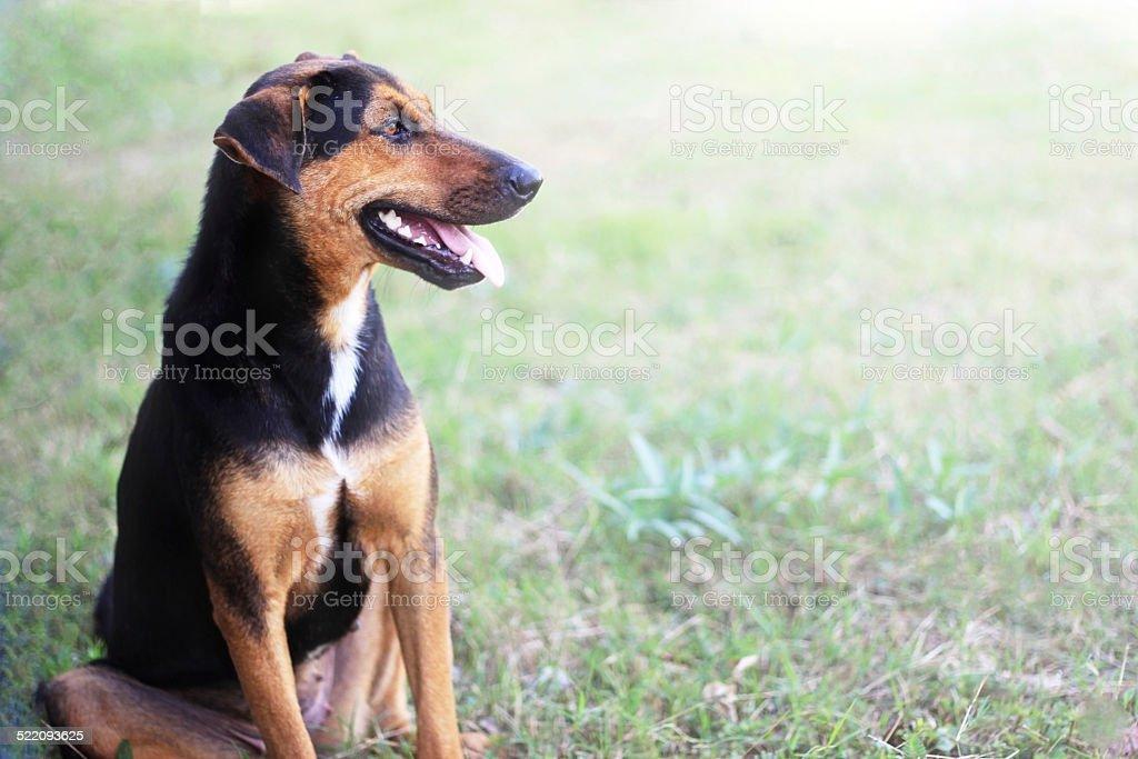 thai dog stock photo