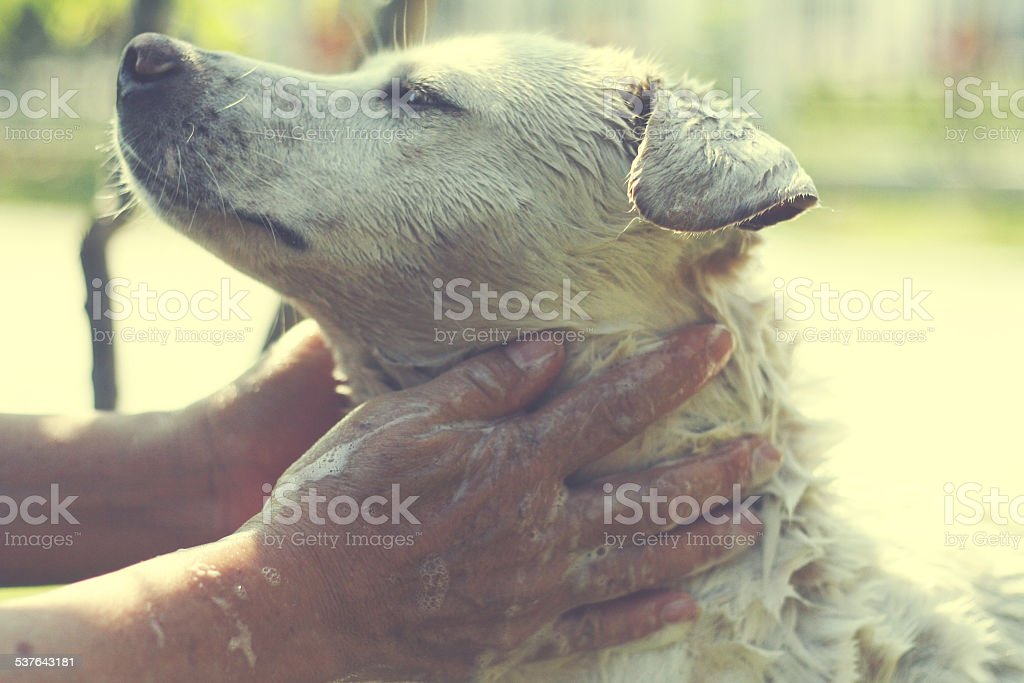 Thai dog taking a shower stock photo