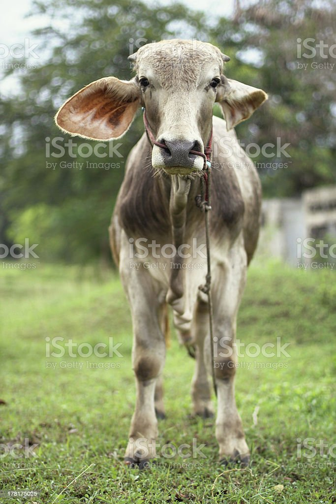 thai dumbo cow portrait royalty-free stock photo