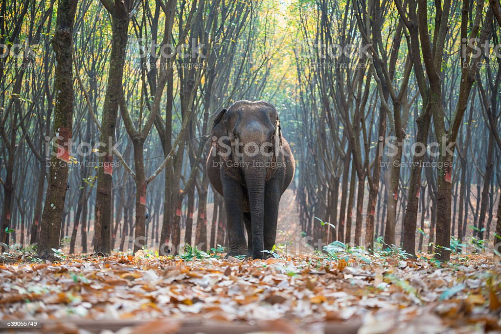 Thai Elephant in a forest at Kanchanaburi province, Thailand stock photo