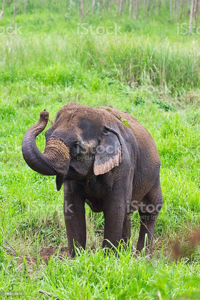 thai elefante foto stock royalty-free