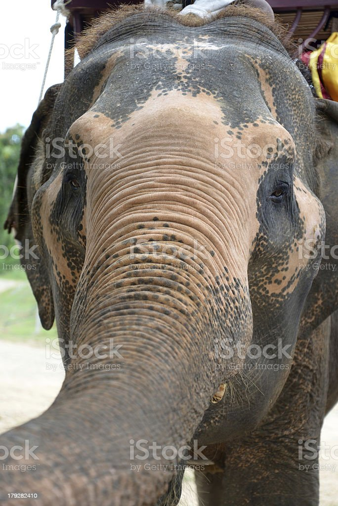 Thai Elephant royalty-free stock photo