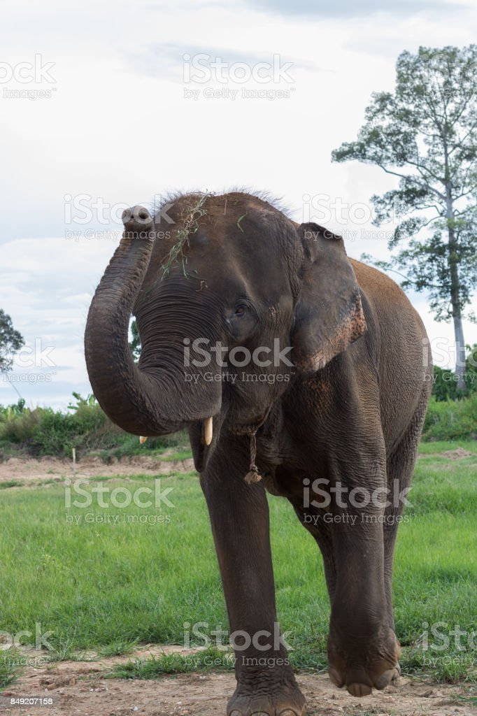 Thai elephants are walking to greet. stock photo