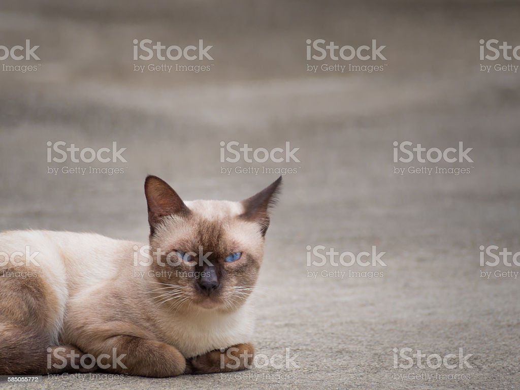 Thai famous cat (Siamese Cat) stock photo