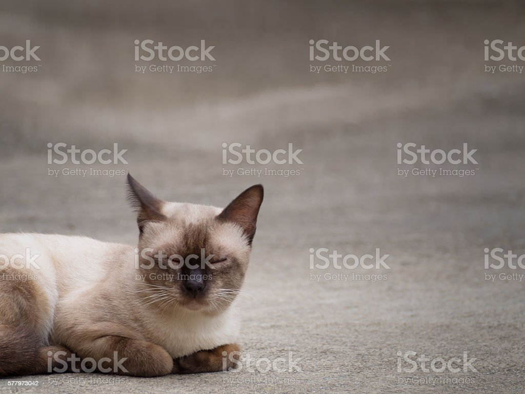 Thai famous cat (Siamese Cat) sleeping stock photo