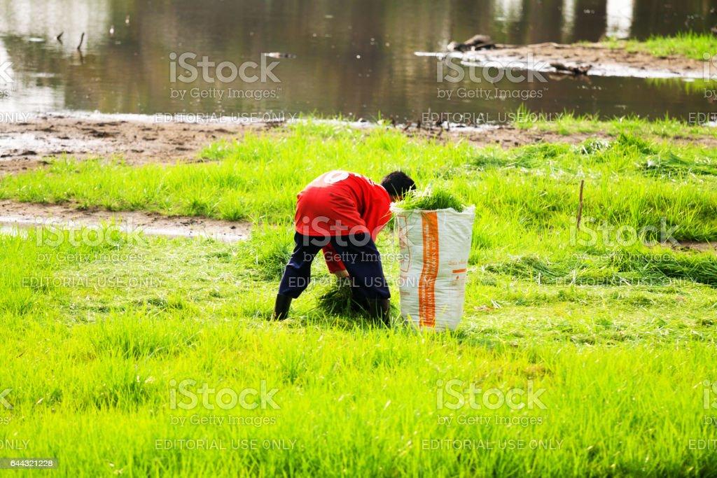 Thai farmer selecting grass and rice plants stock photo