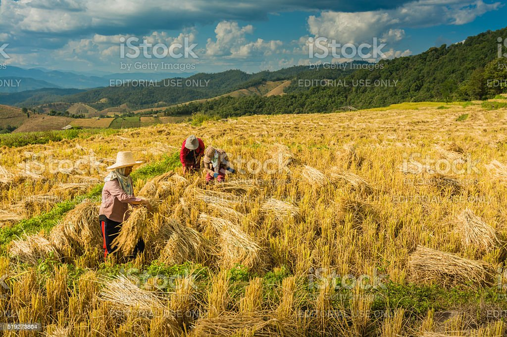 Thai farmers are harvesting them rice royalty-free stock photo