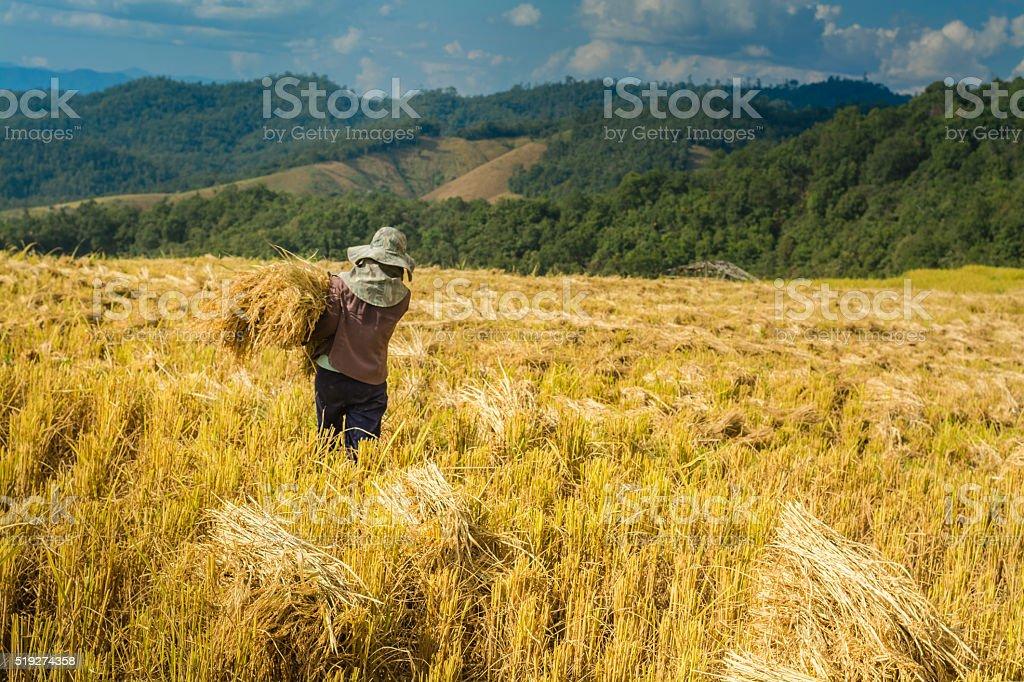 Thai farmers are harvesting them rice royalty-free stock photo