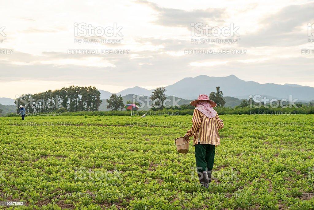 Thai Female farmer is working on potatoe field stock photo