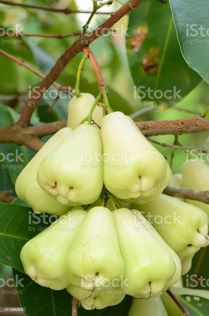 Thai Fruit the Rose Apple or Chomphu on tree stock photo