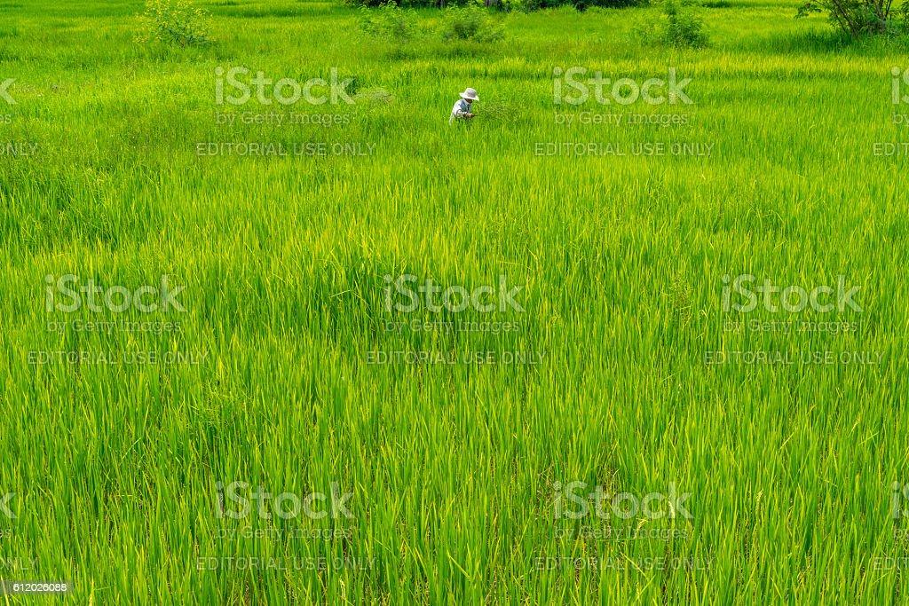 Thai male farmer working in green rice field photo libre de droits