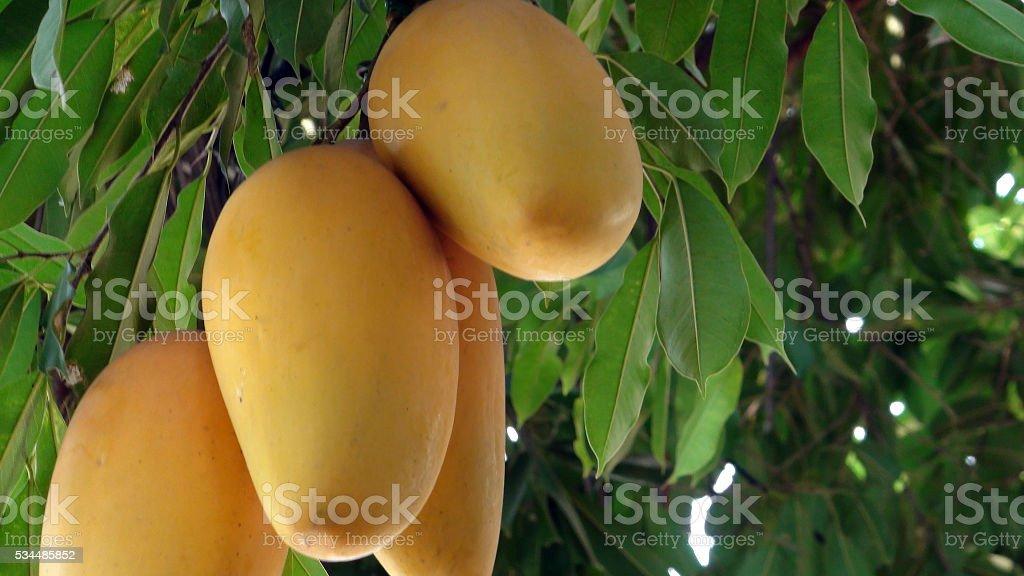 Thai Mango Artificial Tree In Thailand Southeast Asia stock photo