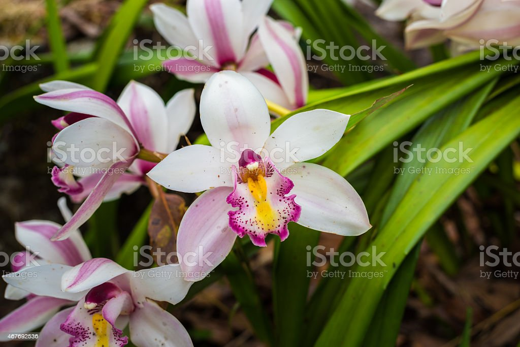 Thai orchid. stock photo