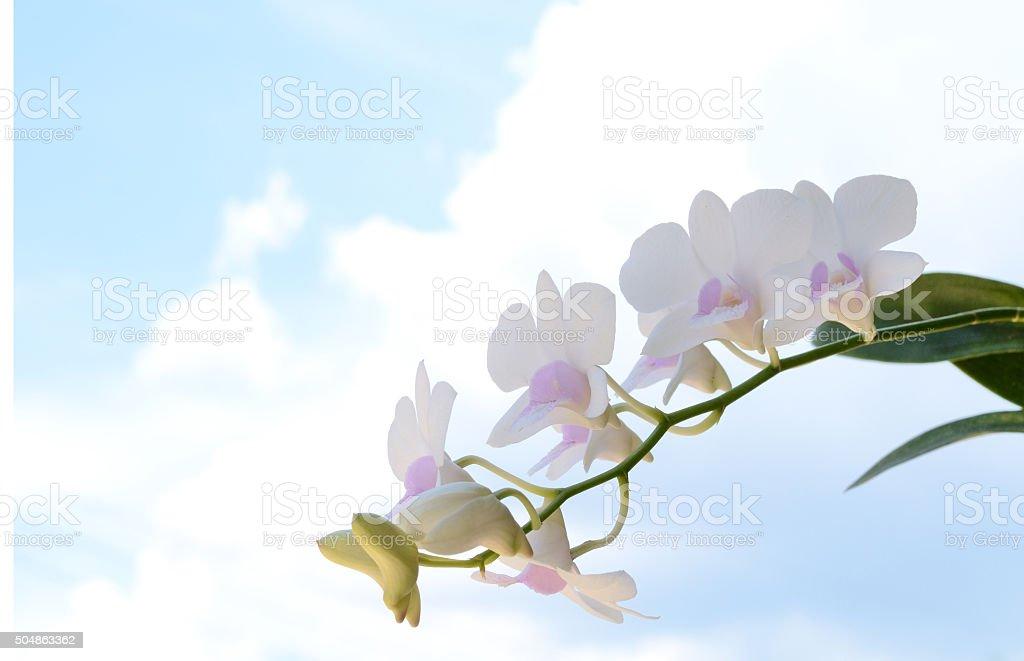 thai orchid stock photo