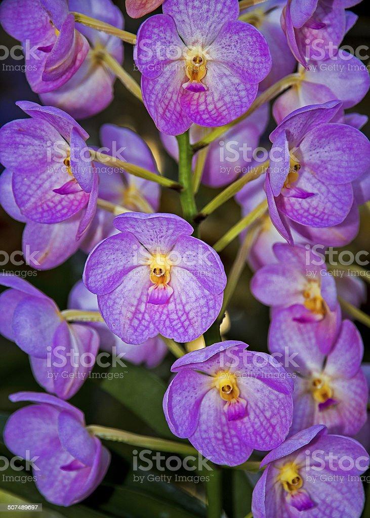 Thai Orchid (2) stock photo