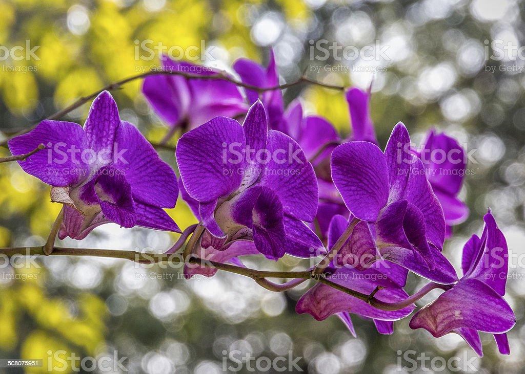 Thai Orchid (1) stock photo