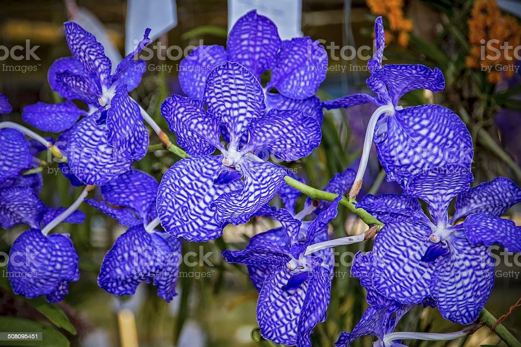 Thai Orchid (3) stock photo