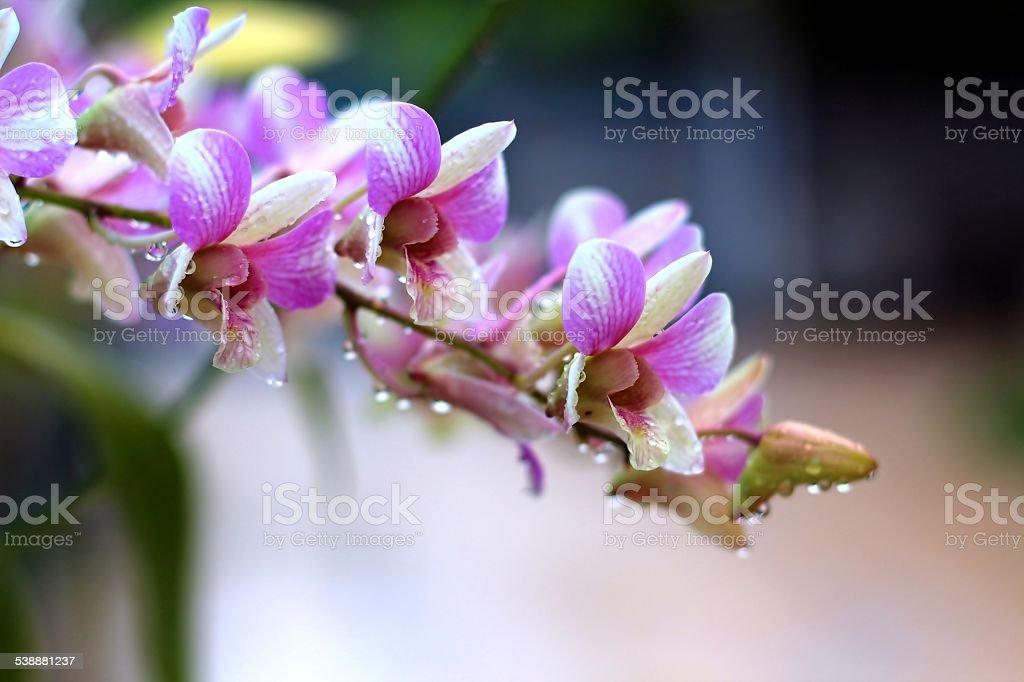 thai orchidée rose photo libre de droits