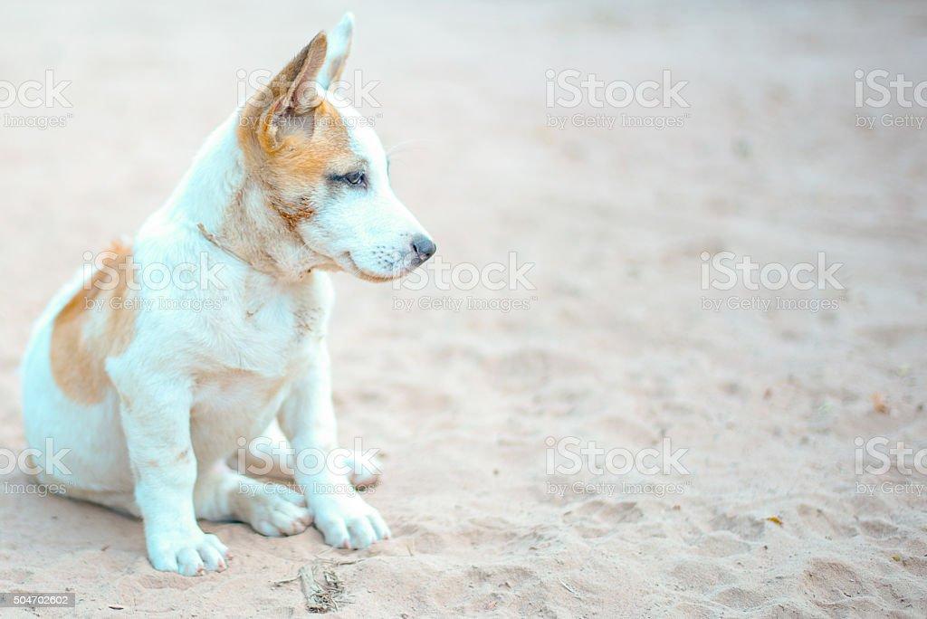 Thai puppy on the sand stock photo