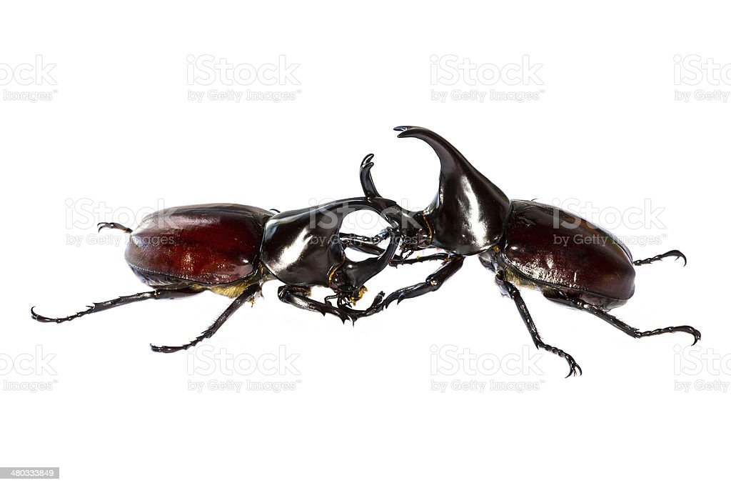 Thai rhinoceros beetle stock photo