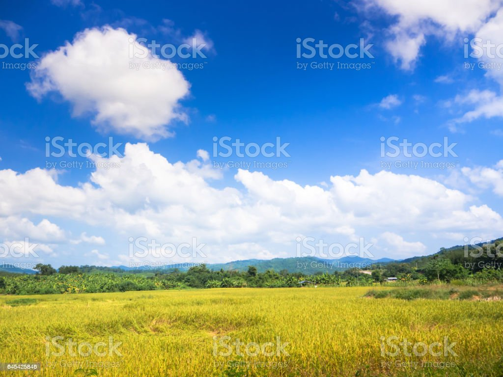 Thai rice field with blue sky stock photo