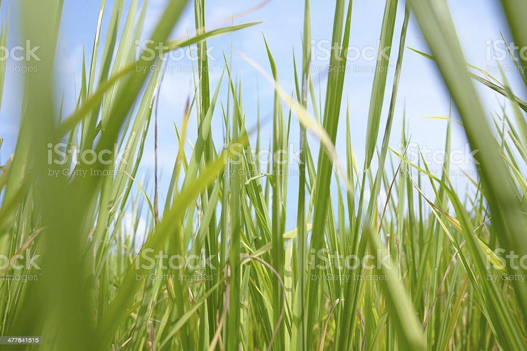 Thai rice plants royalty-free stock photo