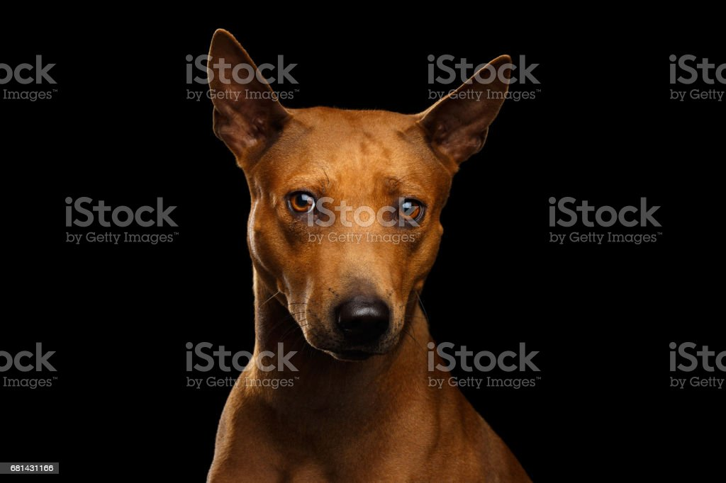 Thai Ridgeback Dog Isolated on Black Background stock photo