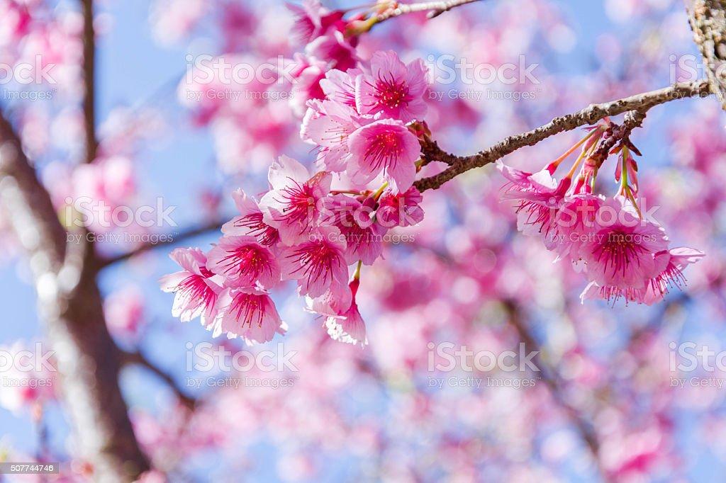 Thai sakura with sweet in winter at Doi Ang khang. stock photo