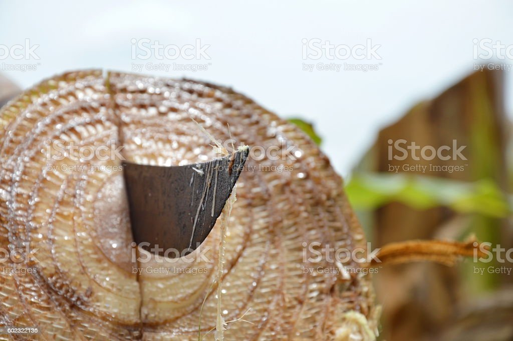 Thai sword blade stab on banana tree stump after cut stock photo