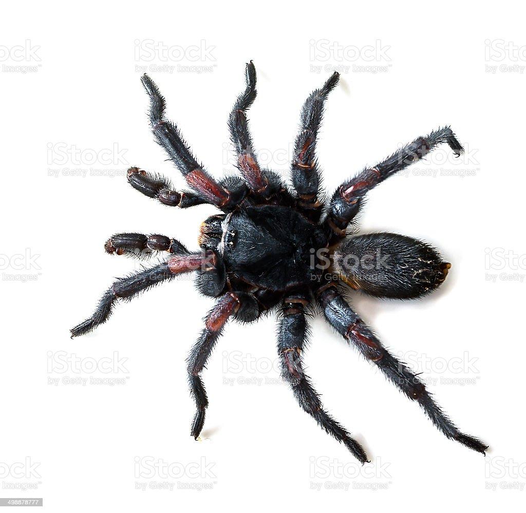 Thai Tarantula on white background royalty-free stock photo