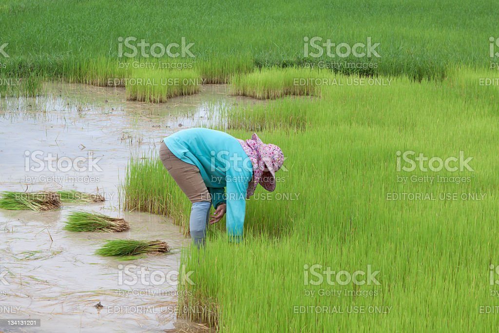 Thai woman working on a paddy field stock photo