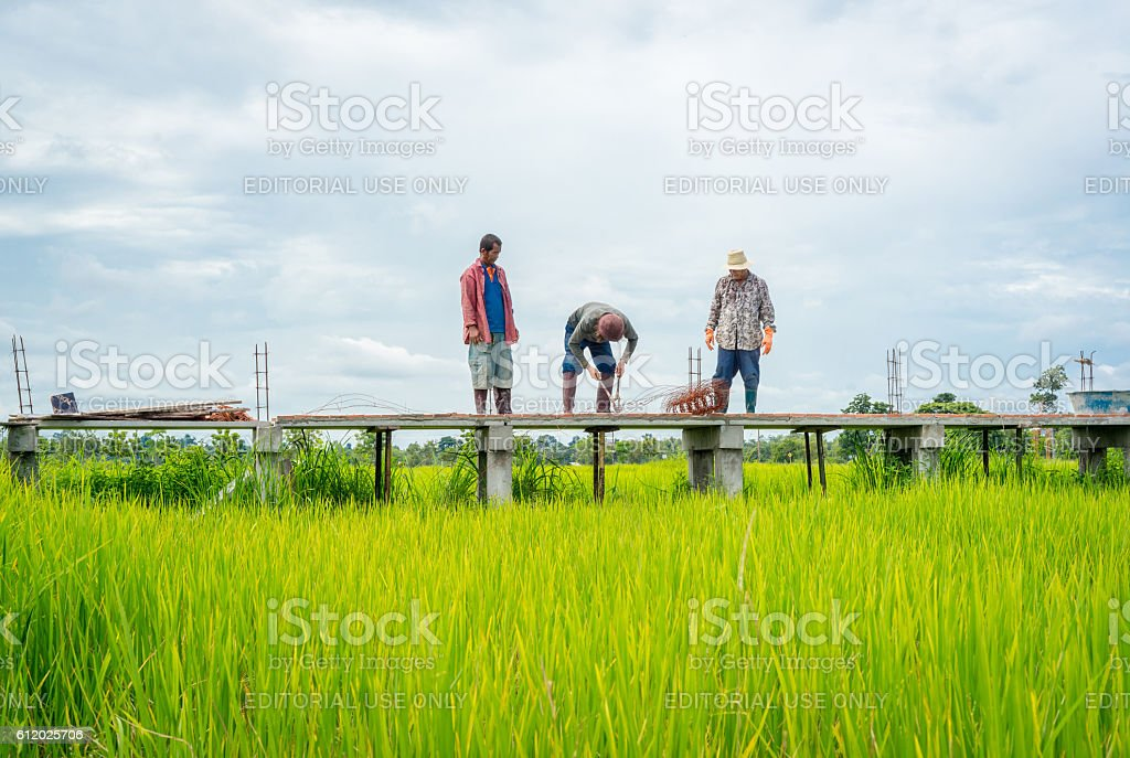 Thai workers building concrete walkway in green rice field photo libre de droits