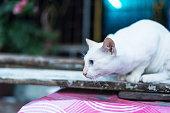 Thailand cat