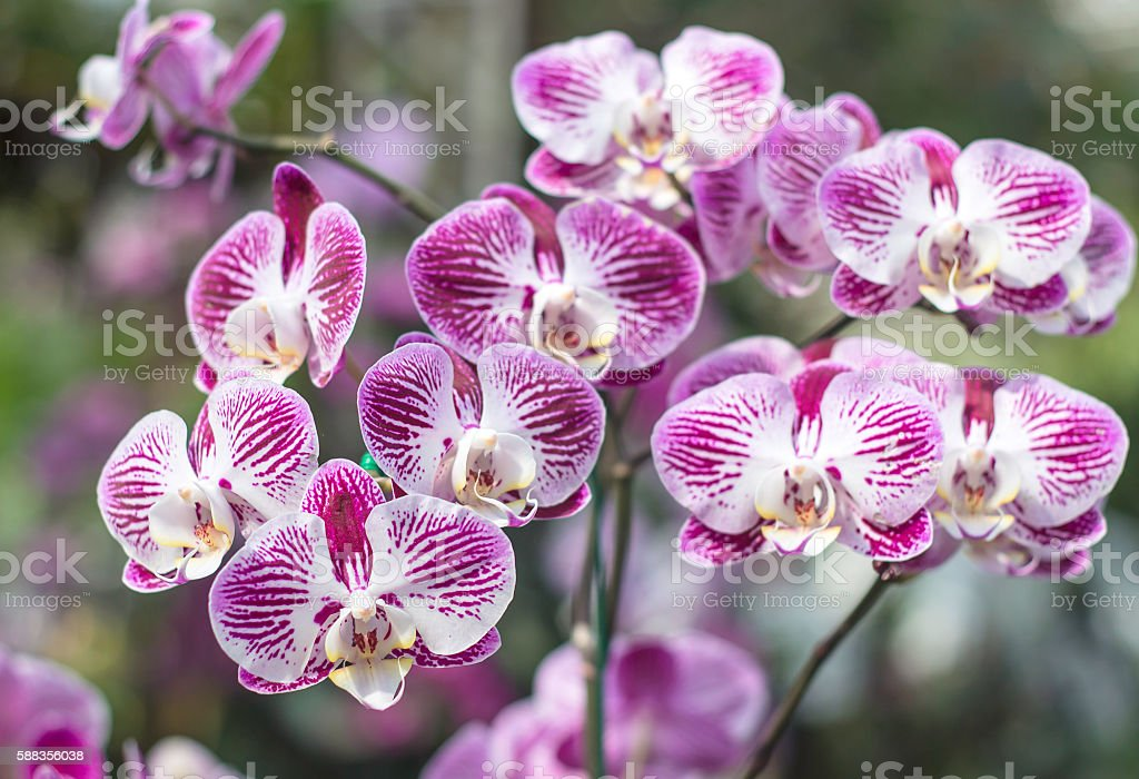 Thailand colorful orchids stock photo