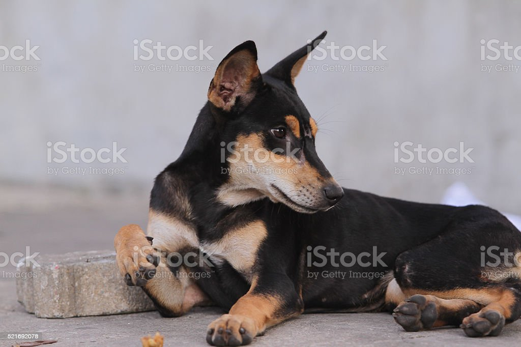 Thailand Dog Looking a Hope - (Selective focus) stock photo