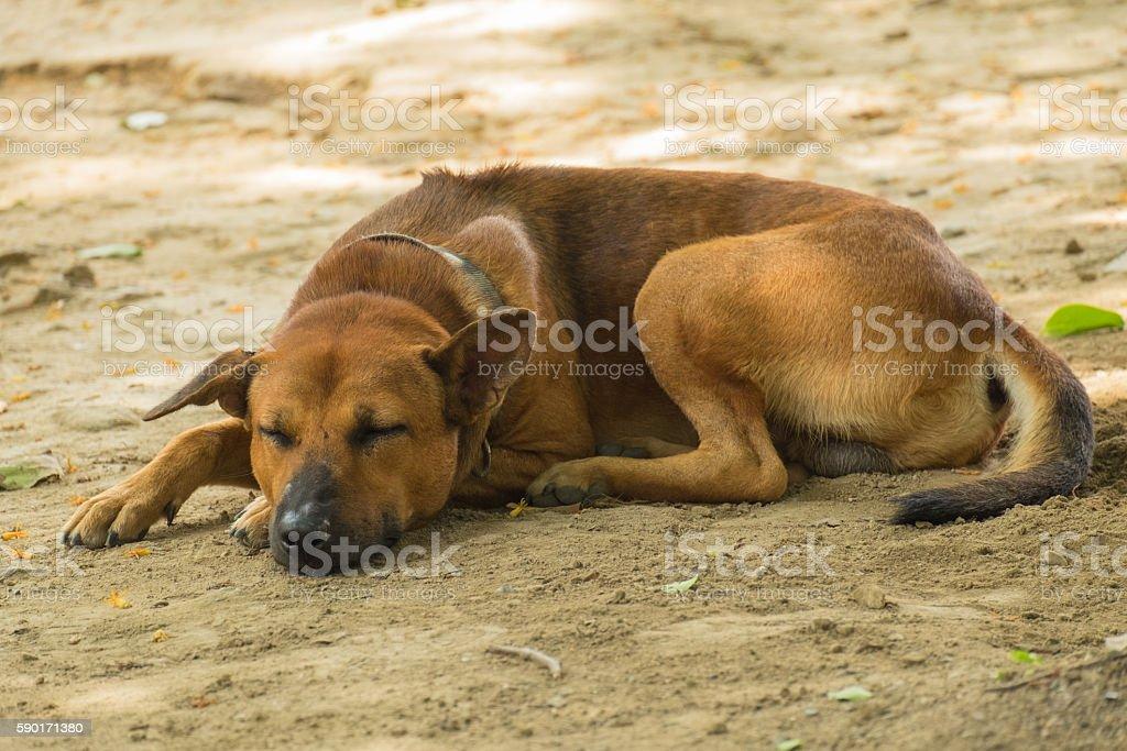 Thailand Dog Sleeping. stock photo