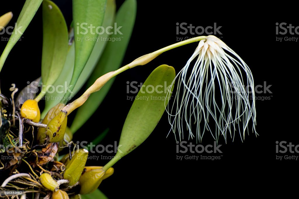 Thailand forest orchid flower, Medusa's Bulbophyllum stock photo