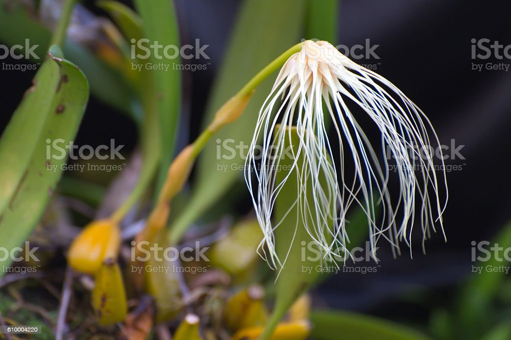 Thailand forest orchid flower, The Medusa's Bulbophyllum stock photo