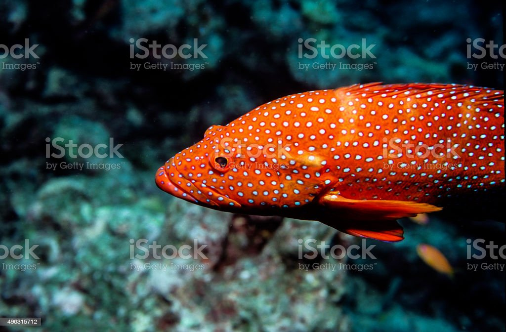 Thailand Jewel Grouper (Coral Trout) closeup - Thailand royalty-free stock photo