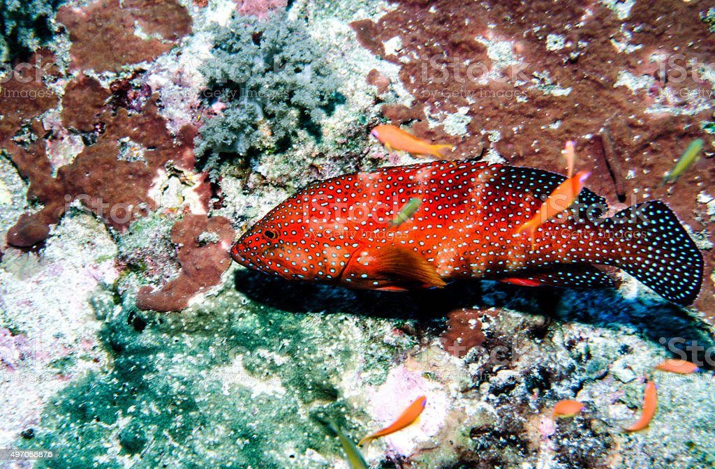 Thailand Jewel Grouper (Coral Trout) on reef - Thailand royalty-free stock photo